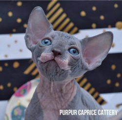 X-Trim  PurPur Caprice